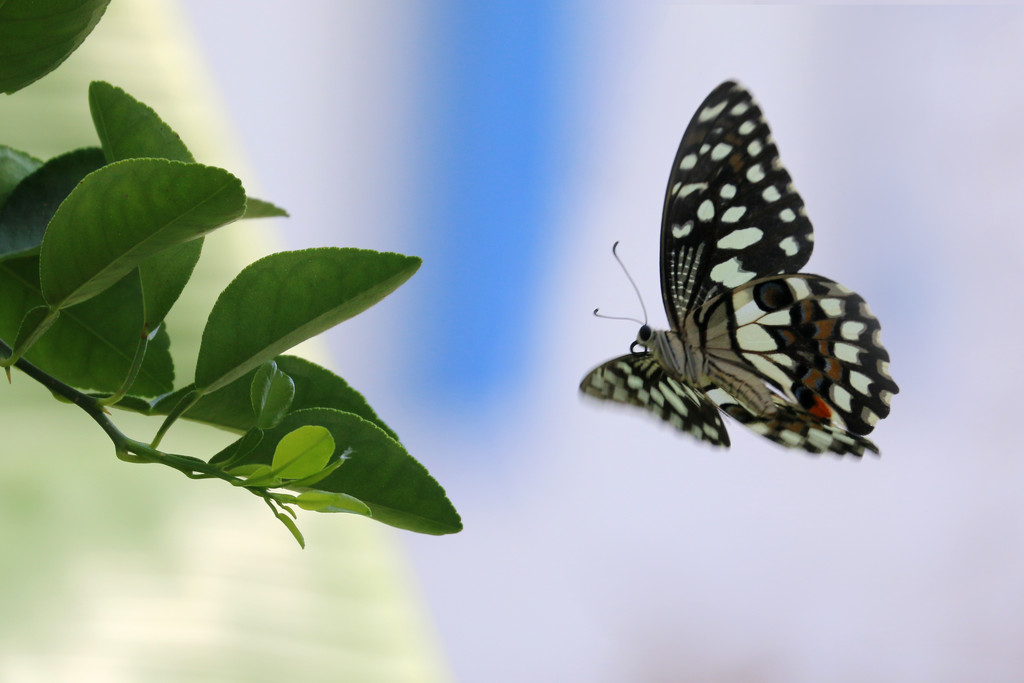 Lime butterfly flying by ingrid01