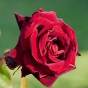 6th Nov 2019 - Red, Red RoseDSC_4427
