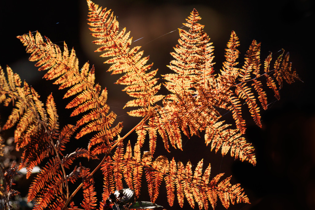 2019 11 06 - Sun Kissed Fern by pixiemac