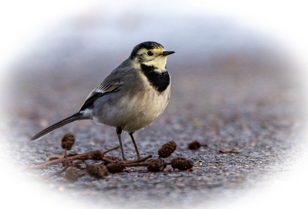Pied Wagtail by stevejacob