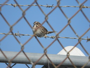 7th Nov 2019 - Sparrow on Fence