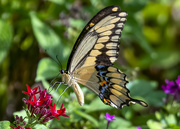 8th Nov 2019 - Giant Swallowtail Butterfly