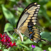 Giant Swallowtail Butterfly by photographycrazy