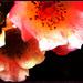 Rose Splash