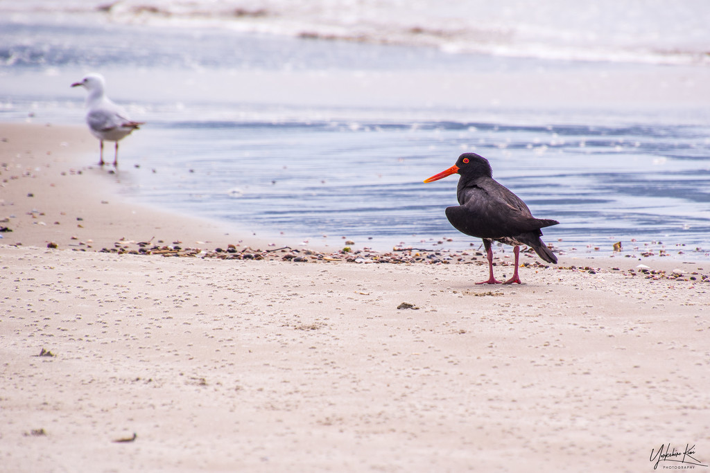 The Oyster Catcher and the seagull by yorkshirekiwi