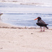 The Oyster Catcher and the seagull