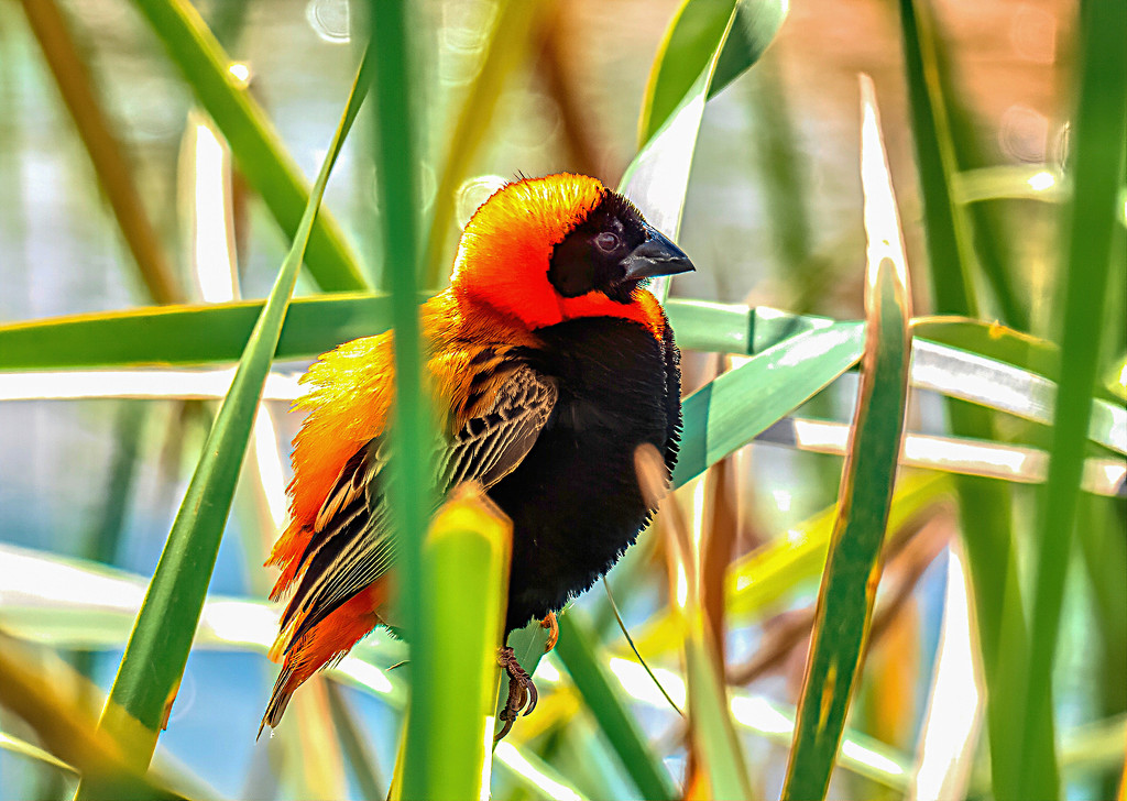 Red Bishop in the Reeds by ludwigsdiana