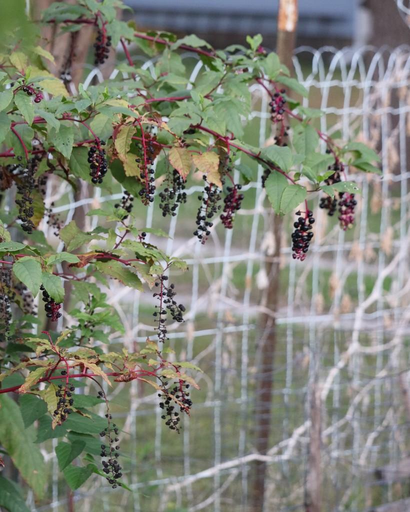 October 10: Poke Berries by daisymiller