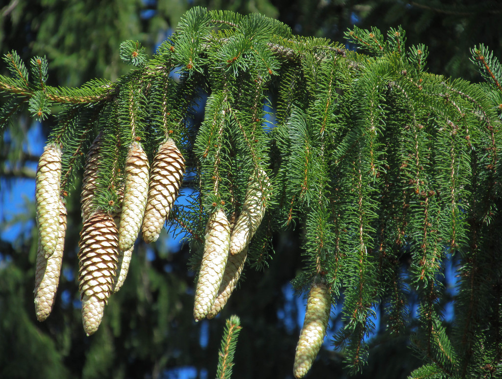 Pine cones by mittens
