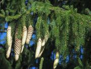 8th Nov 2019 - Pine cones