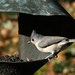 Backyard Birds #3552 - Tufted Titmouse