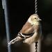 Backyard Birds #3551 - American Goldfinch
