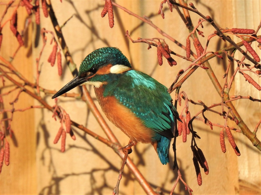 A Kingfisher............ in the Garden!!!! by susiemc