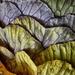 Cabbage by gaf005