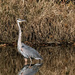 Great Heron by lsquared