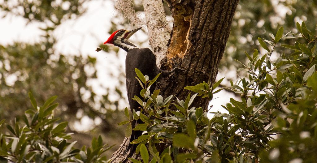 Pileated Woodpecker, Letting the Chips Fly! by rickster549