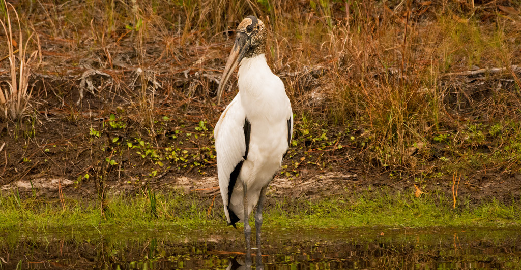Woodstork Pose for Beauty! by rickster549