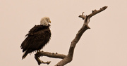 8th Nov 2019 - Bald Eagle, Bad Hair Day!