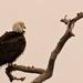Bald Eagle, Bad Hair Day!