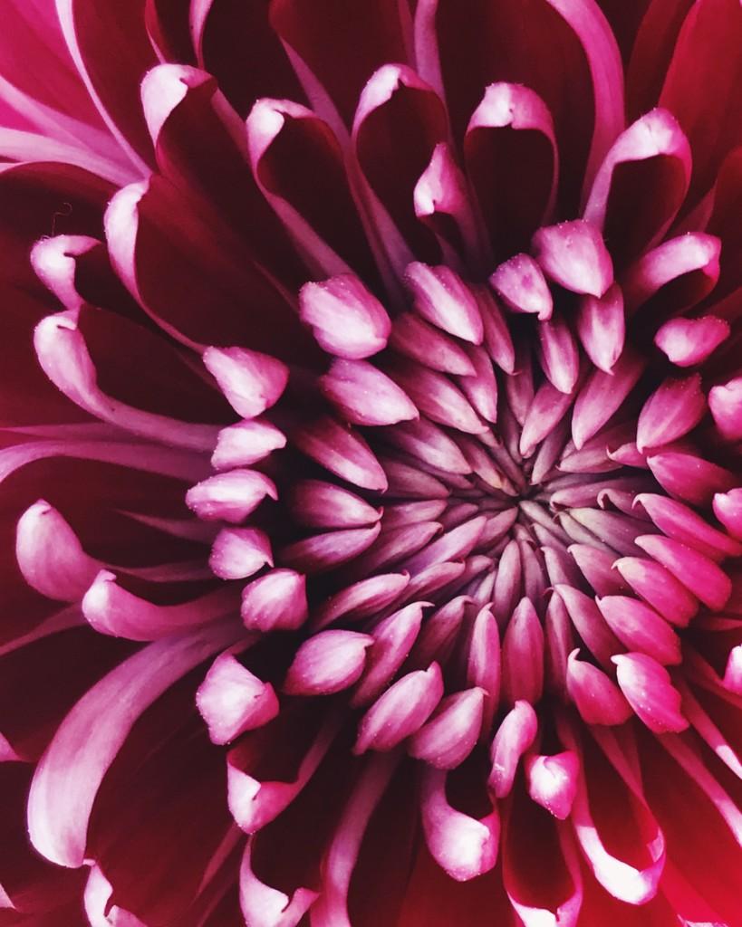 Day 311:  Chrysanthemum  by sheilalorson