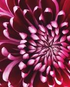 8th Nov 2019 - Day 312:  Chrysanthemum