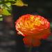 Rose of Adelaide
