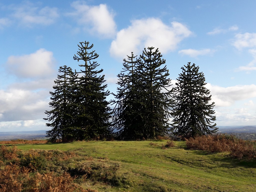 My Favourite monkey Puzzle Trees by susiemc