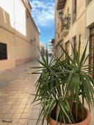 9th Nov 2019 - Potted palm tree