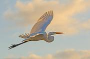 9th Nov 2019 - Egret Fly-by!
