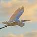 Egret Fly-by!