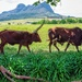 Ankole cow following her bull