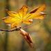 Autumn chestnut leaf