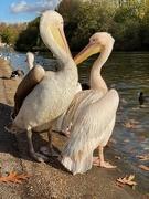 7th Nov 2019 - Just love Pelicans