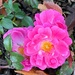 Rose on evening walk by shutterbug49