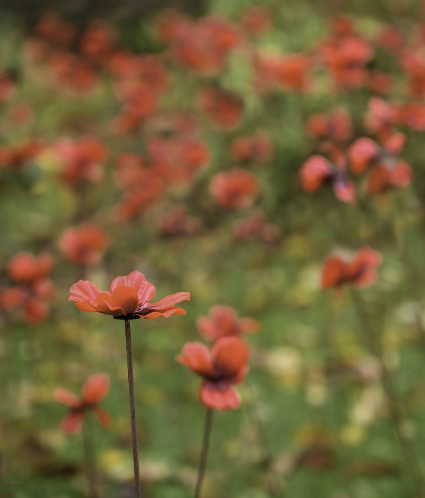 Somerset Poppies by inthecloud5