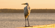 10th Nov 2019 - Egret, Also Looking for Handouts!