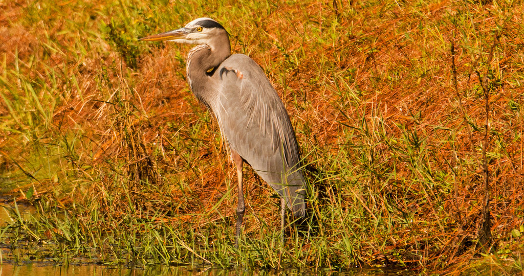 Blue Heron, Waiting to Strike by rickster549