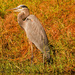 Blue Heron, Waiting to Strike