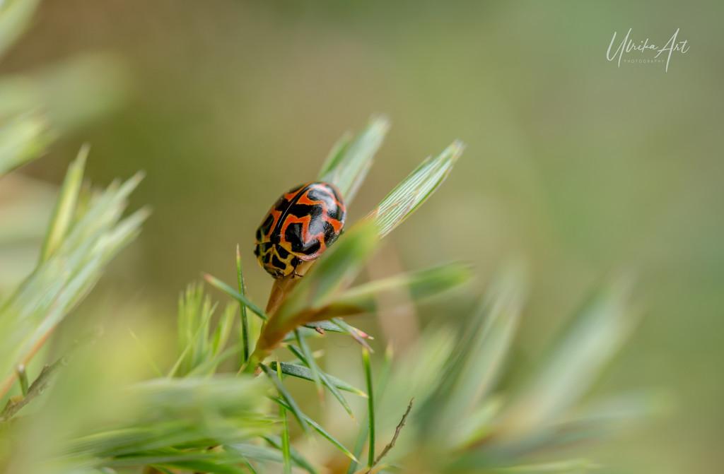 lady beetle by ulla