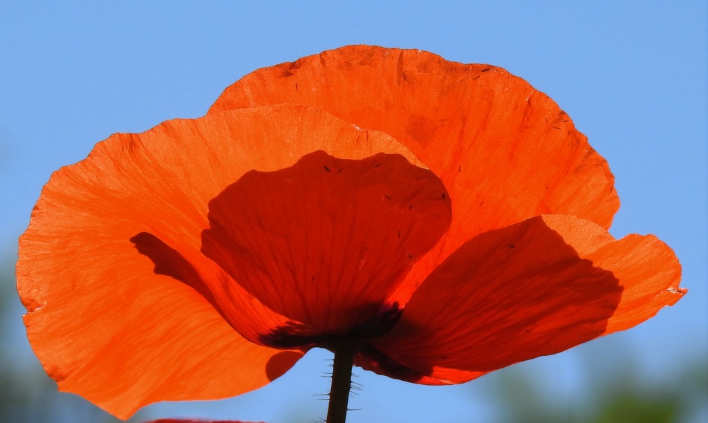 Red Poppy for Veterans Day by janeandcharlie
