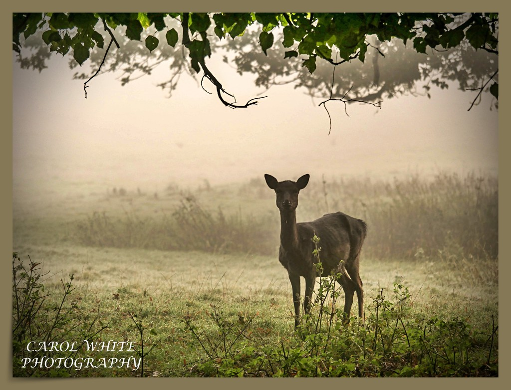 Deer In The Mist by carolmw