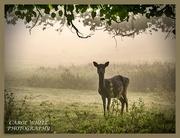 11th Nov 2019 - Deer In The Mist