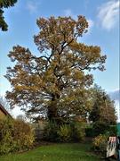 11th Nov 2019 - Ye Olde Oak Tree
