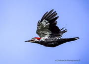 12th Nov 2019 - Pileated fly-by