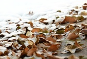11th Nov 2019 - leaves and snow