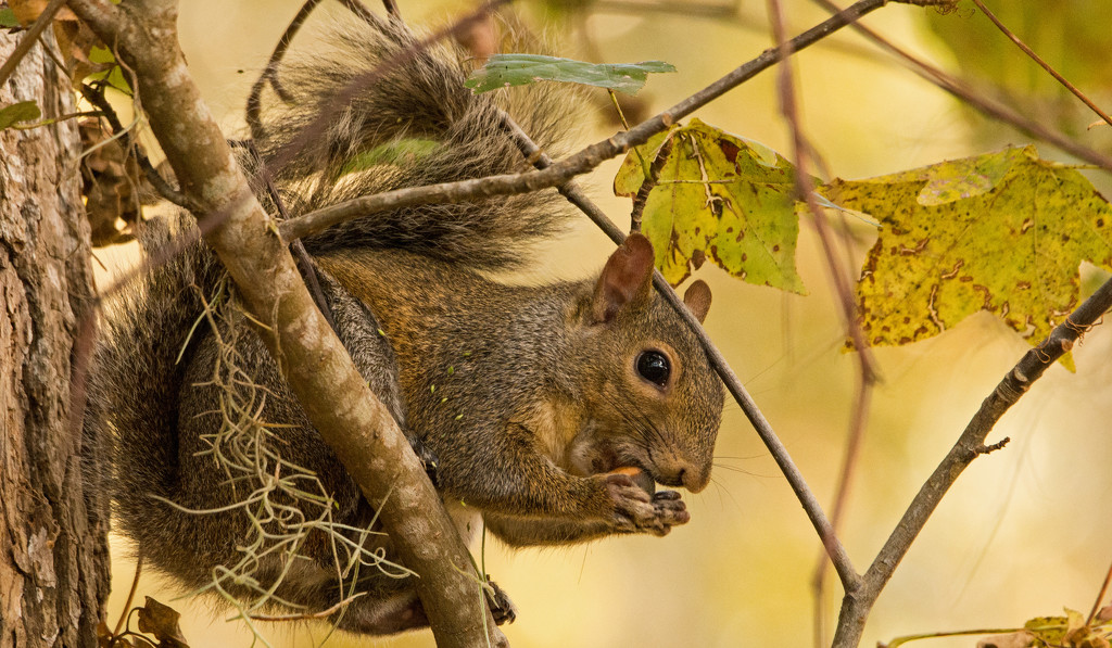 Squirrel, About to Tear Into that Acorn! by rickster549