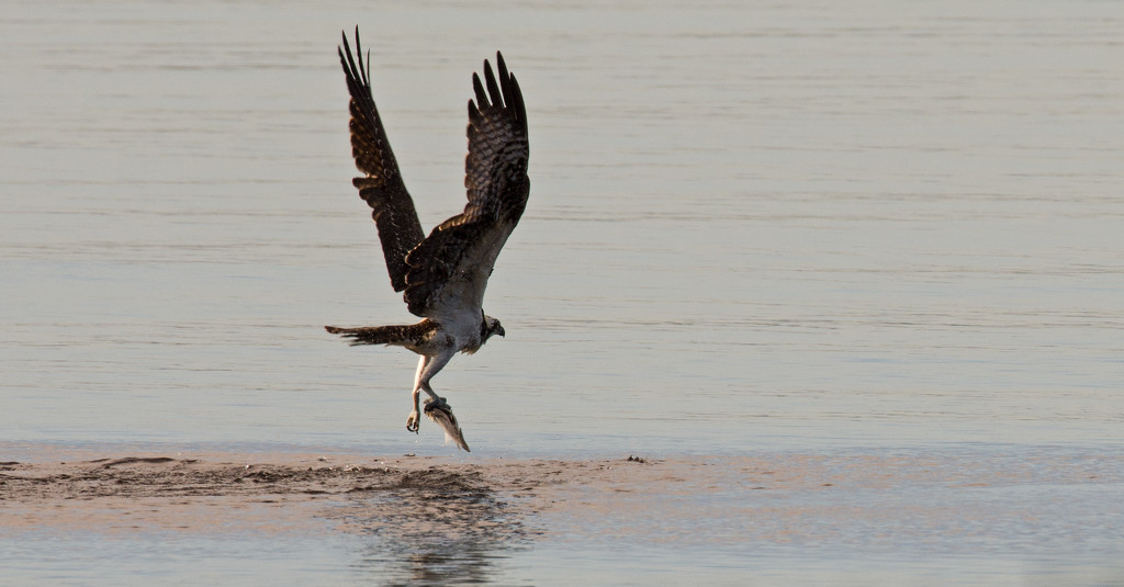 Osprey, With It's Catch! by rickster549
