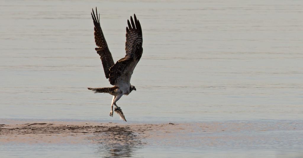 Osprey, With It's Catch! by rickster549