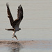 Osprey, With It's Catch!