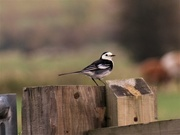 9th Nov 2019 - Pied Wagtail
